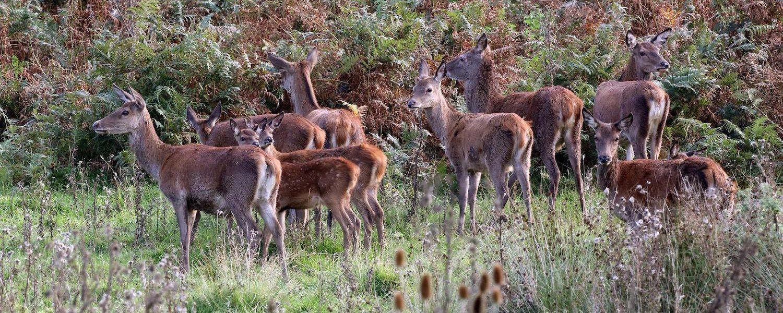 Holford deer